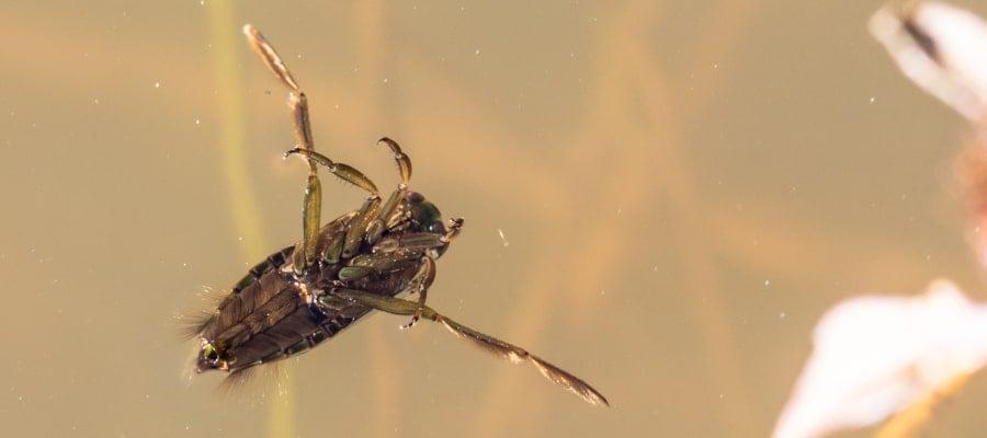 Backswimmers / Notonectidae