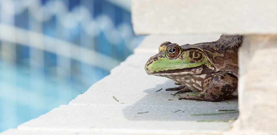 Frog near the pool.